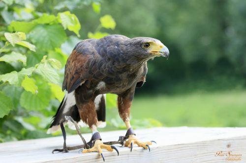 bird of prey birds nature
