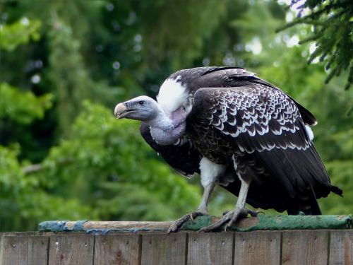 plėšrusis paukštis,didelis,grifas,paukščių parkas Walsrode,Uždaryti,stovintis