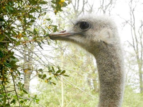bird ostrich ostrich animal bird
