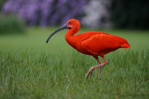 bird park walsrode red ibis bird