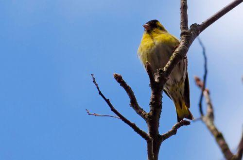 Bird - Siskin