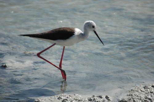 bird stilt nutrition swamp