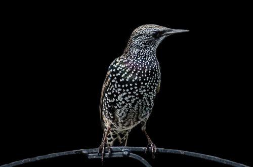 Bird - Sturnus Vulgaris