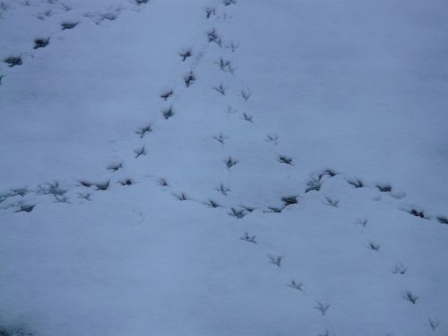 bird tracks animal track reprint