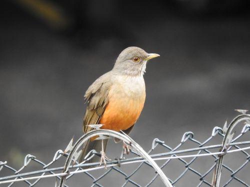 birdie brazilian bird know orange