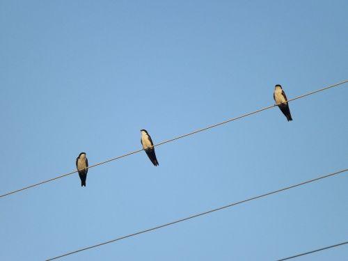 birdie bird swallows