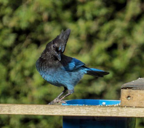 steller's jay bird jay