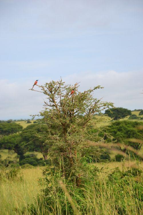 birdlife uganda tree