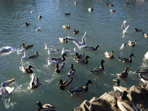 birds ducks seagulls