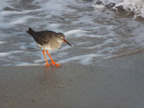birds red shank seashore