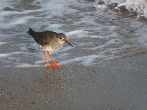 birds red shank seashore