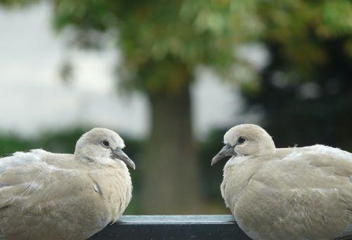 birds pigeons para