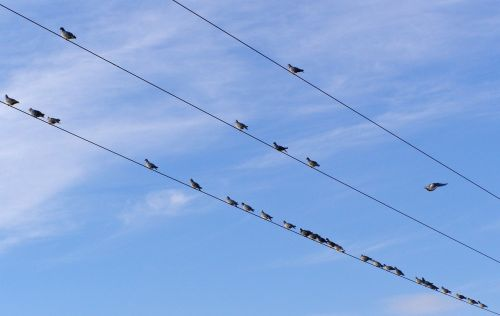 birds electric cables pigeons