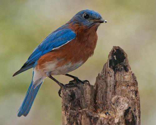 birds bluebird nature