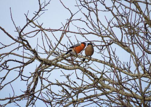 birds songbirds gimpel