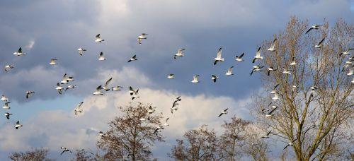 birds gulls swarm