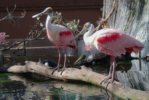 birds spatulas wader