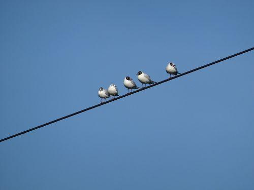 birds power line gull