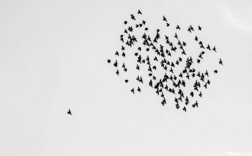 birds swarm flock of birds