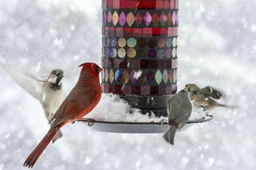 birds sparrow cardinal