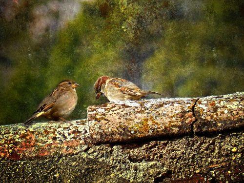 birds sparrows texas