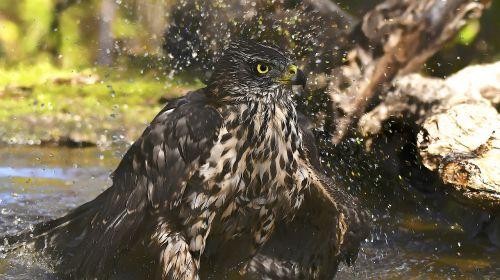 birds astor bathing