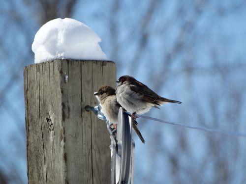 birds sparrows winter