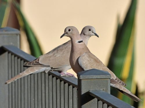 birds turtledoves eurasian collared dove