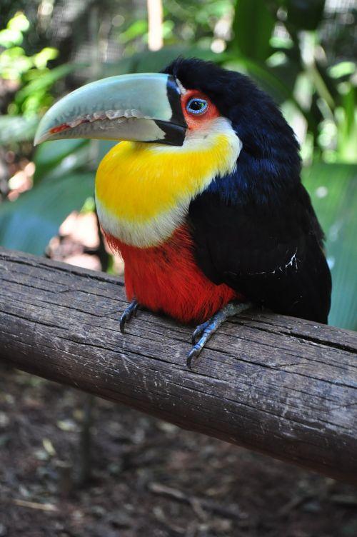 birds tucano brazil