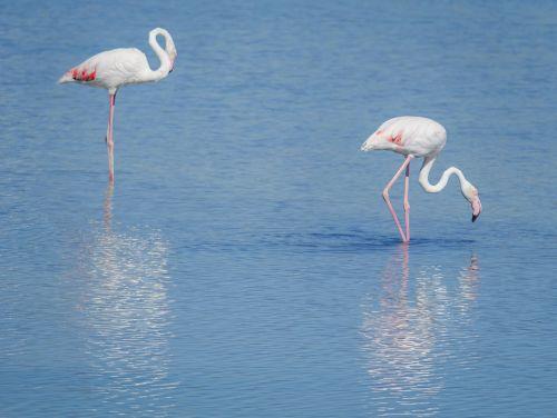birds flemish pink