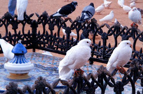 birds pigeon urban
