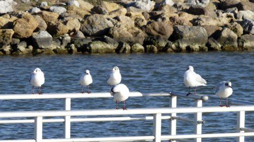 birds sea seagull