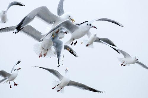 birds seagull wings