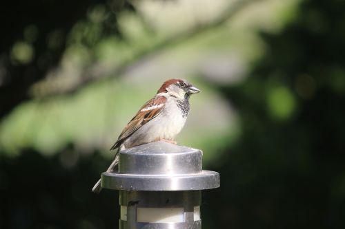 birds sperling extinction