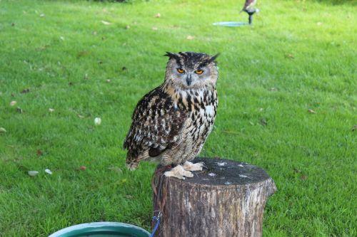 birds owl animal
