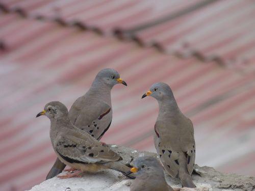 birds pigeons plomas