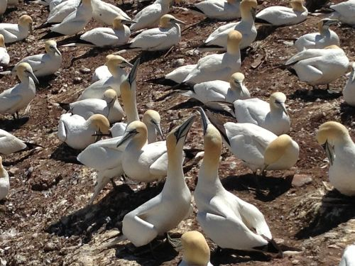 birds quebec bonaventure island