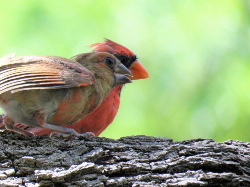 birds adult and immature red bird