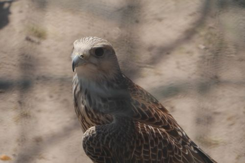 birds falcon raptor