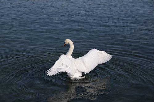 birds lake swans