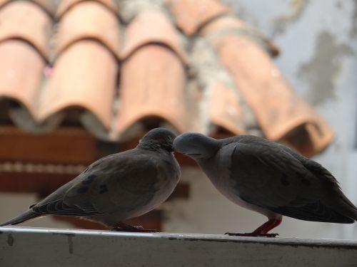 birds doves pigeon