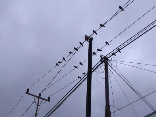birds perch electric cable