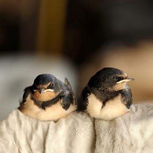 birds schwalbe barn swallow