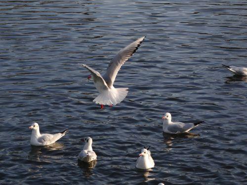birds the seagulls sea birds