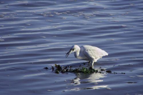 birds wader egret