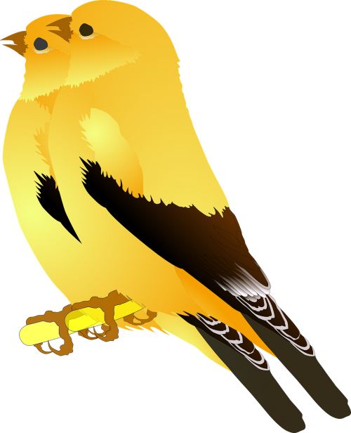 birds gold finches