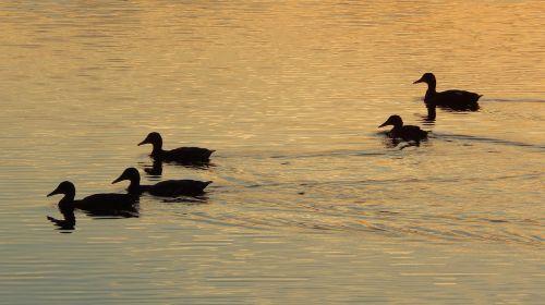 birds ducks lake