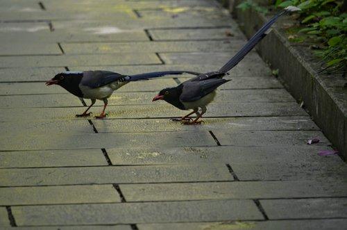 birds  black  para