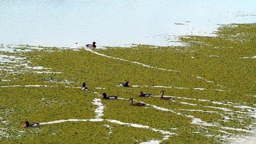 birds  ducks  laguna