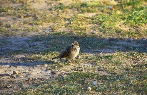 birds  sparrow  plumage